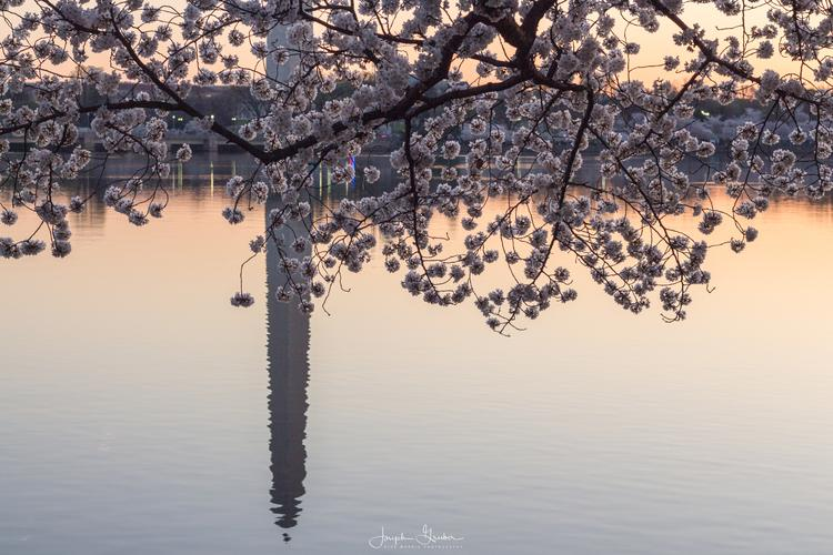 Washington Monument reflected in the Tidal Basin during peak cherry blossom bloom