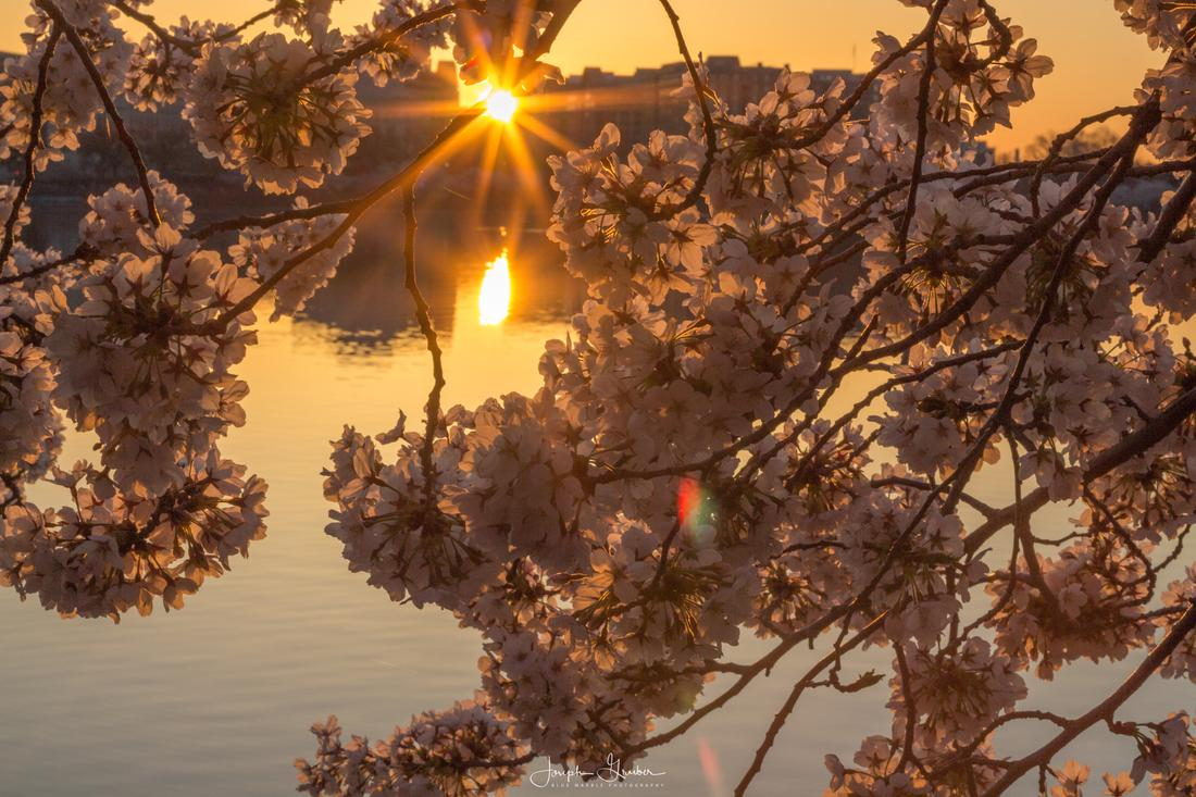 Sunshine reflects off of the water in the Tidal Basin with cherry blossoms seen in the foreground