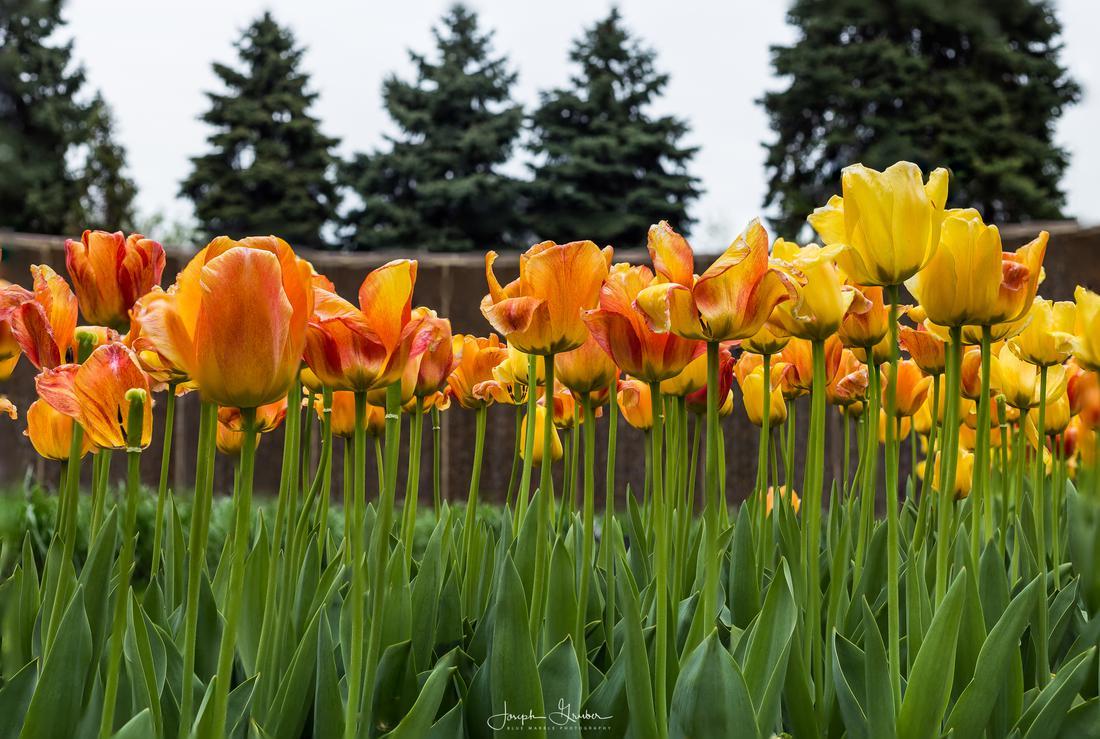 Dozens of orange and yellow tulips in bloom