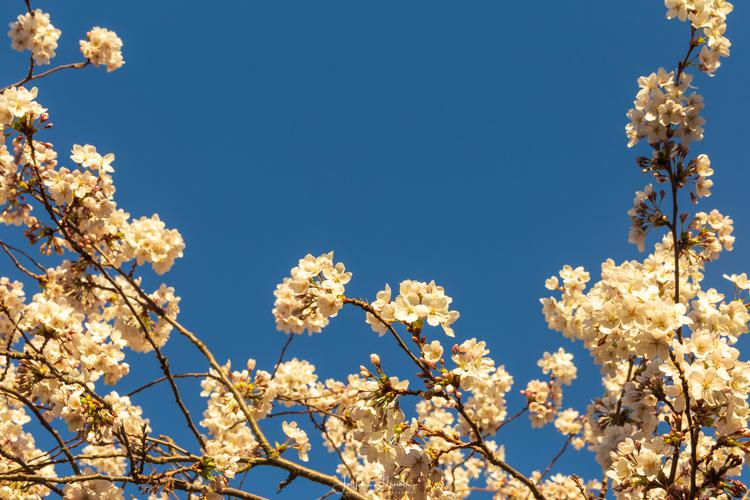 Cherry blossoms reach for the bright sunlight admist a bright blue, clear sky