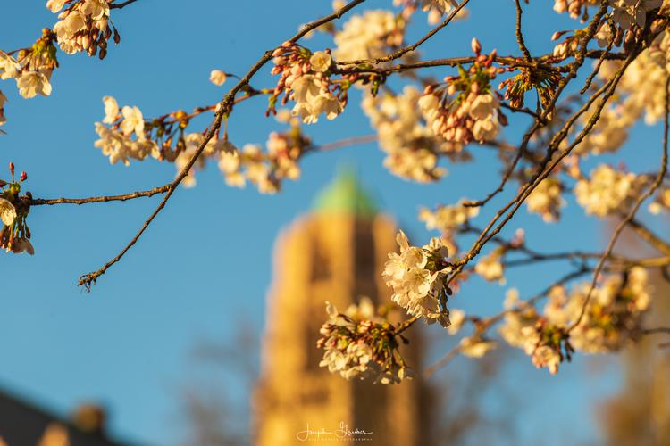 Cherry blossoms bloom in the sunlight on the University of Washington campus