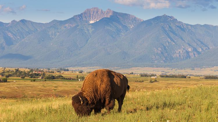 Bison grazing with the Swan Range in northern Montana just south of Glacier National Park majestically rising in the distance