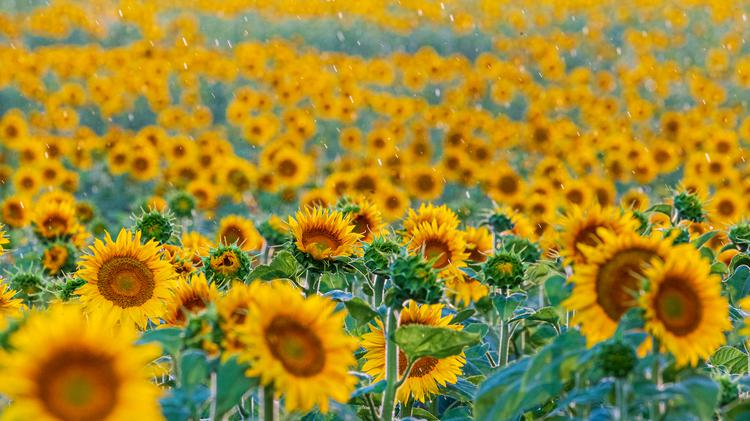 Raindrops fall onto a field of bright yellow and orange sunflowers