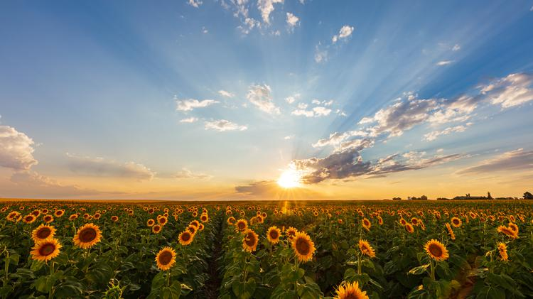 The sun shines bright in the sky as it begins to set behind a wide field of yellow and orange sunflowers