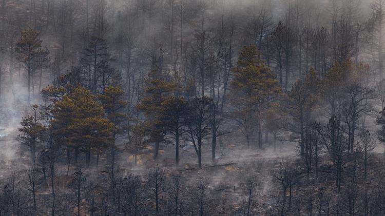 Trees burned to a crisp in the forest while other are still standing after the Cal Wood forest fire