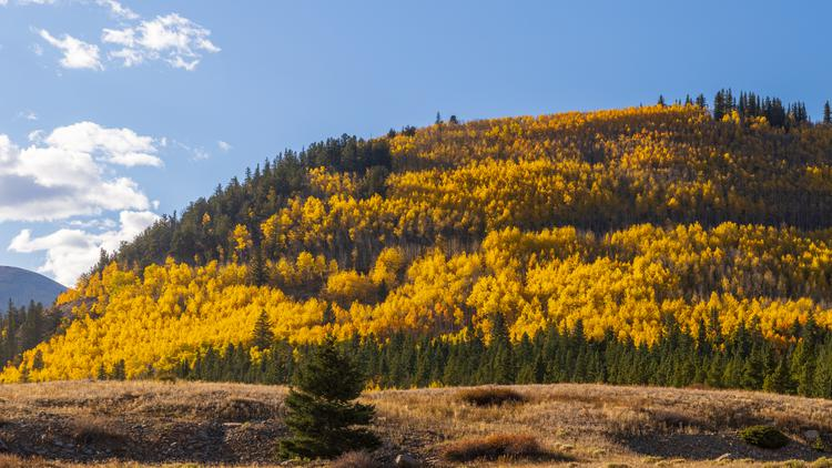 The golden glow of aspens changing color in the fall light up the hill near Boreas Pass in Colorado's high country